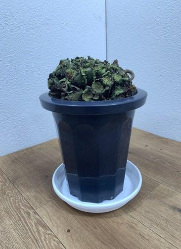 観葉植物 【36cm】 リュウビンタイ 8号 #24713