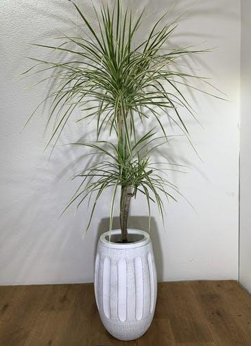 観葉植物 【135cm】 コンシンネ ホワイポリー 7号 #24752