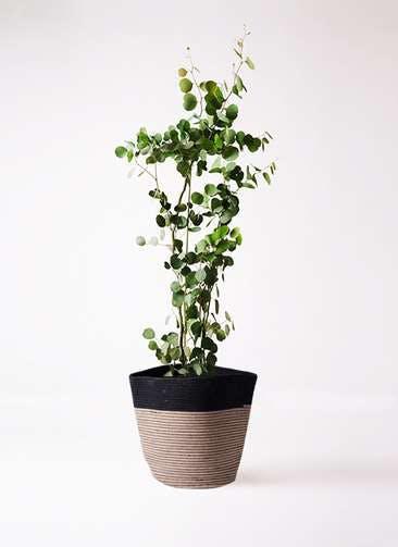 観葉植物 ユーカリ 8号 ポリアンセモス リブバスケットNatural and Black 付き