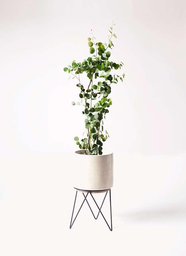 観葉植物 ユーカリ 8号 ポリアンセモス ビトロ エンデカ クリーム アイアンポットスタンド ブラック 付き
