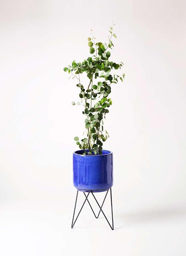 観葉植物 ユーカリ 8号 ポリアンセモス ビトロ エンデカ ブルー アイアンポットスタンド ブラック 付き