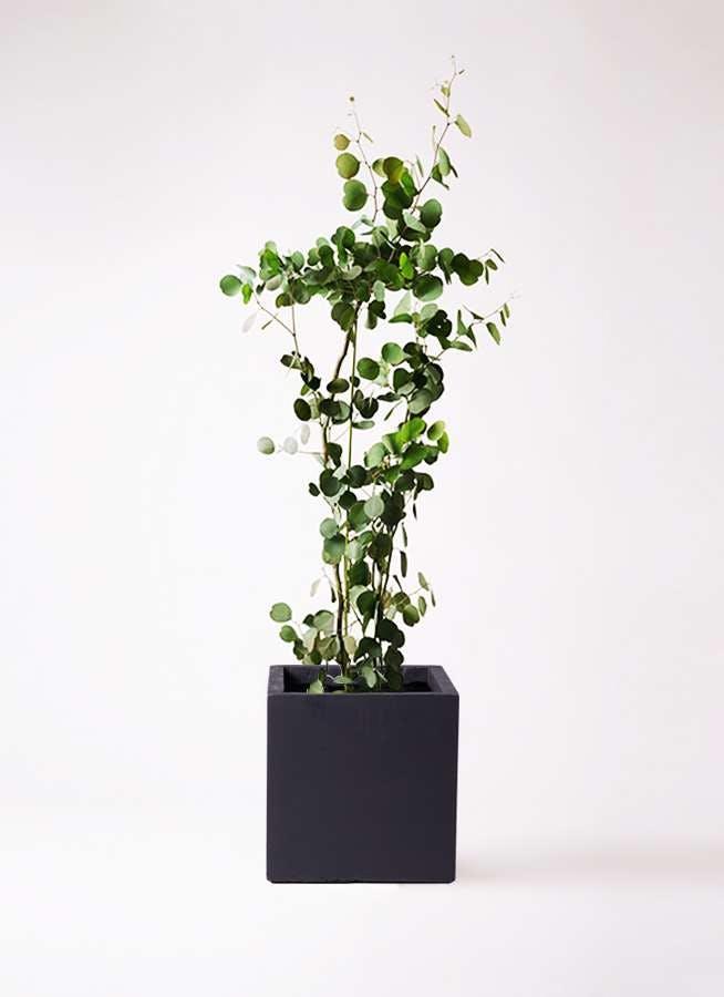 観葉植物 ユーカリ 8号 ポリアンセモス ベータ キューブプランター 黒 付き