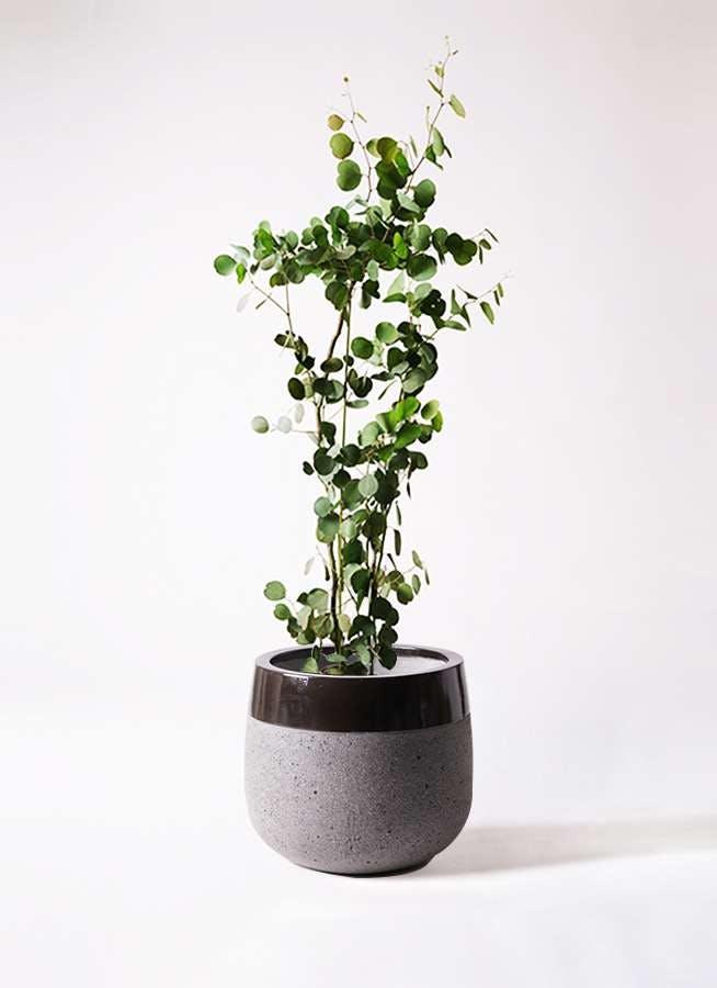 観葉植物 ユーカリ 8号 ポリアンセモス ファイバーストーンタウルス 黒 付き