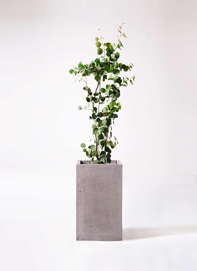 観葉植物 ユーカリ 8号 ポリアンセモス セドナロング グレイ 付き