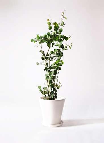 観葉植物 ユーカリ 8号 ポリアンセモス サブリナ 白 付き