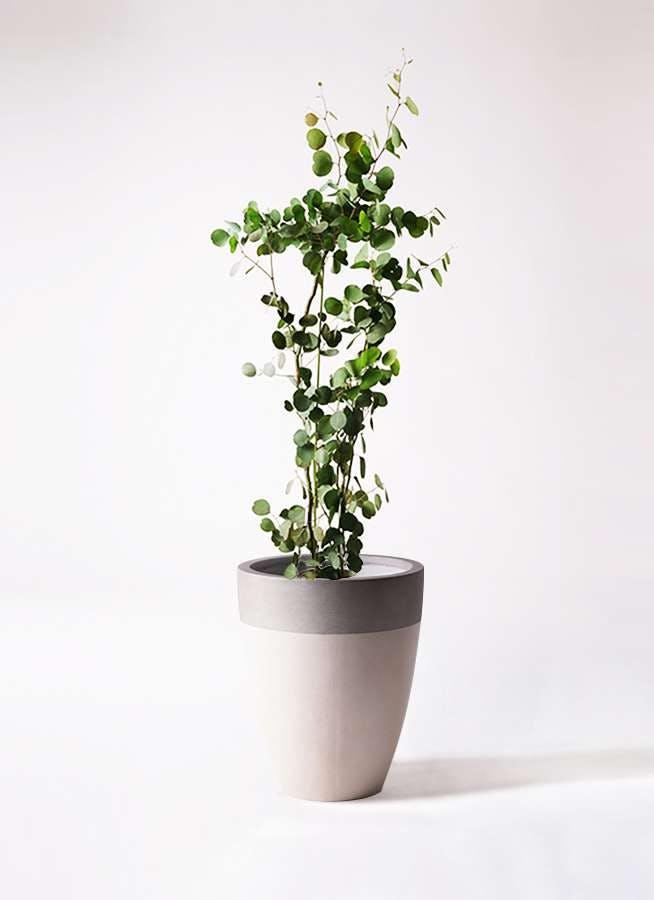 観葉植物 ユーカリ 8号 ポリアンセモス ファイバーストーンカプリ サンディホワイト 付き