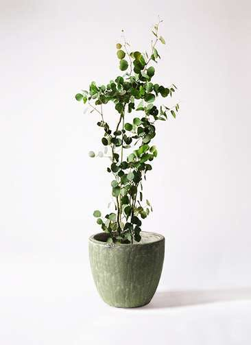観葉植物 ユーカリ 8号 ポリアンセモス アビスソニアミドル 緑 付き