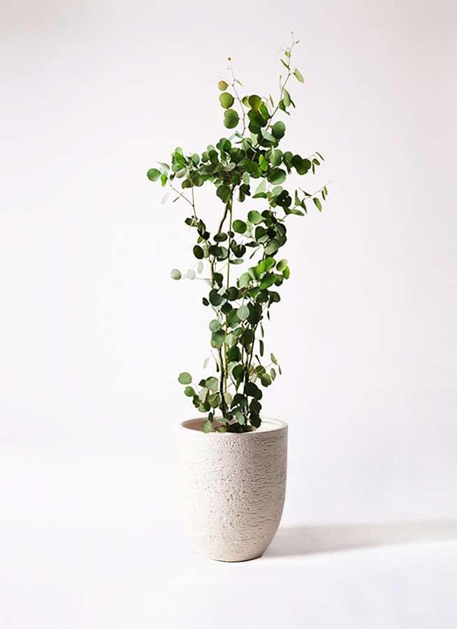 観葉植物 ユーカリ 8号 ポリアンセモス ビアスアルトエッグ 白 付き