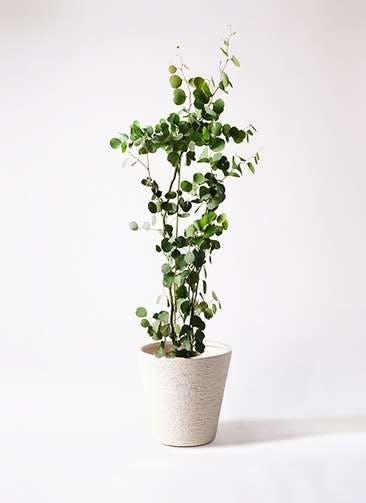 観葉植物 ユーカリ 8号 ポリアンセモス ビアスソリッド 白 付き