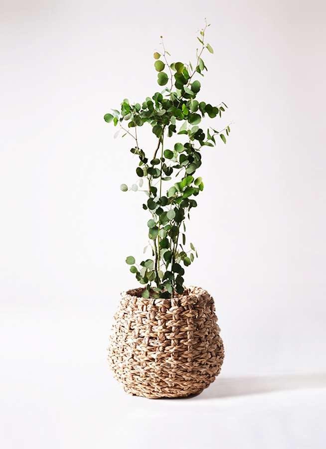 観葉植物 ユーカリ 8号 ポリアンセモス ラッシュバスケット Natural 付き