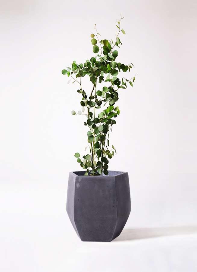 観葉植物 ユーカリ 8号 ポリアンセモス ファイバークレイ Gray 付き