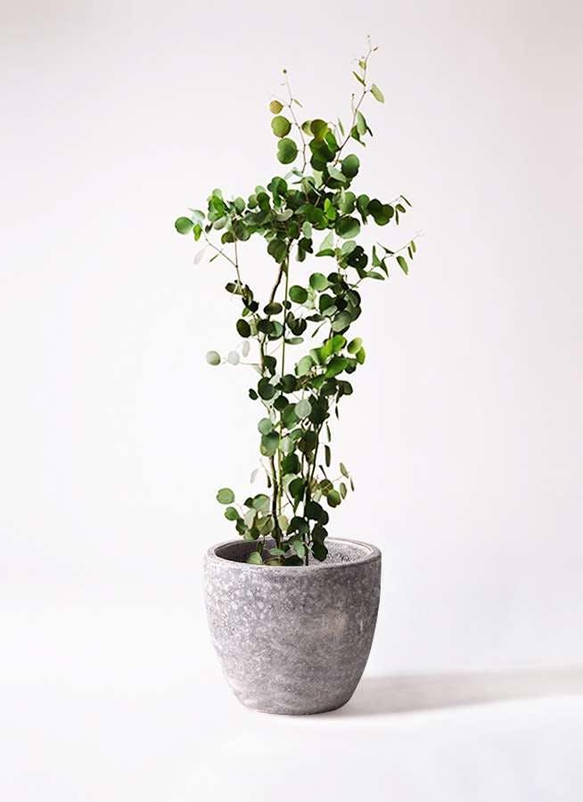 観葉植物 ユーカリ 8号 ポリアンセモス アビスソニアミドル 灰 付き