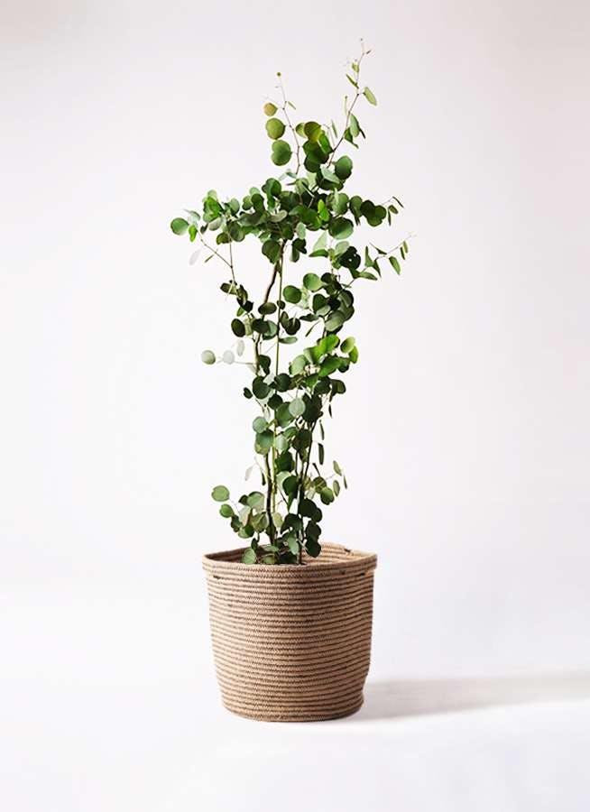 観葉植物 ユーカリ 8号 ポリアンセモス リブバスケットNatural 付き