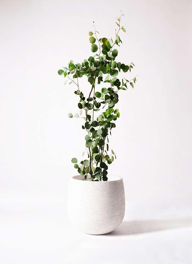 観葉植物 ユーカリ 8号 ポリアンセモス エコストーンwhite 付き