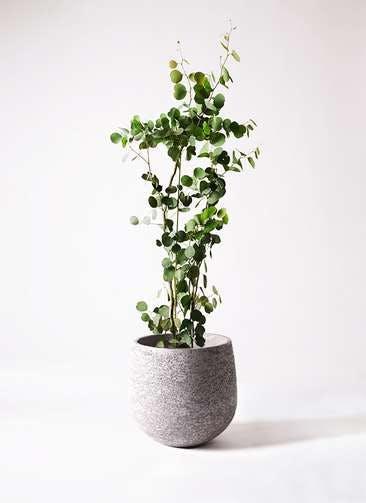 観葉植物 ユーカリ 8号 ポリアンセモス エコストーンGray 付き