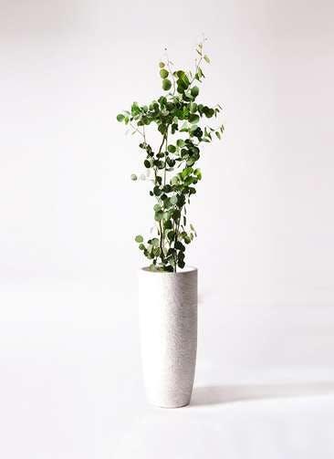観葉植物 ユーカリ 8号 ポリアンセモス エコストーントールタイプ white 付き