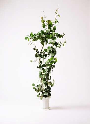 観葉植物 ユーカリ 8号 ポリアンセモス プラスチック鉢