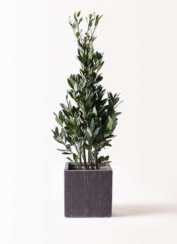 観葉植物 月桂樹 8号 ベータ キューブプランター ウッド 茶 付き