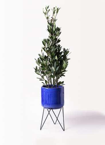 観葉植物 月桂樹 8号 ビトロ エンデカ 鉢カバースタンド付 ブルー 付き