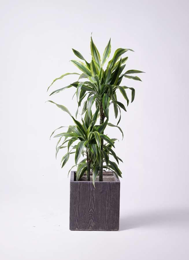 観葉植物 ドラセナ ワーネッキー レモンライム 8号 ベータ キューブプランター ウッド 茶 付き