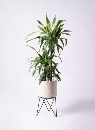観葉植物 ドラセナ ワーネッキー レモンライム 8号 ビトロ エンデカ クリーム アイアンポットスタンド ブラック 付き