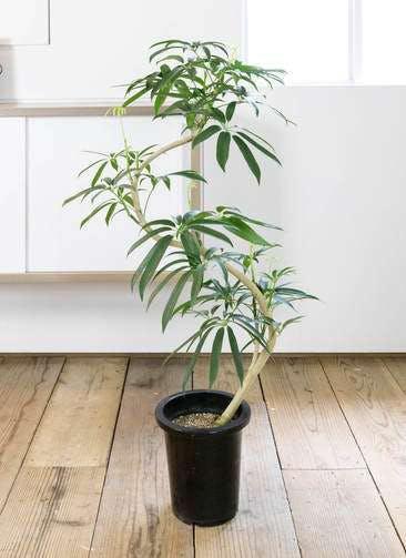 観葉植物 シェフレラ アンガスティフォリア 8号 曲り プラスチック鉢