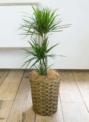 観葉植物 ドラセナ コンシンネ 7号 竹バスケット 付き