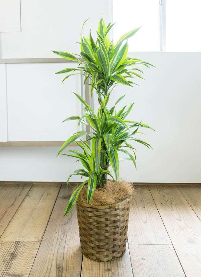 観葉植物 ドラセナ ワーネッキー レモンライム 8号 竹バスケット 付き