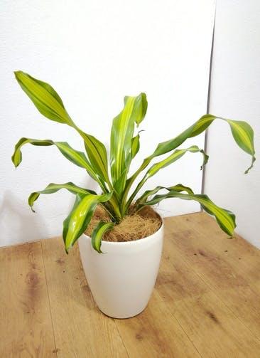 観葉植物 【65cm】ドラセナ 6号 #24778 ※1都3県配送限定商品