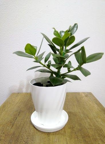 観葉植物 【35cm】 クルシア ロゼア プリンセス 5号 #24787