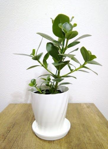 観葉植物 【40cm】 クルシア ロゼア プリンセス 5号 #24789