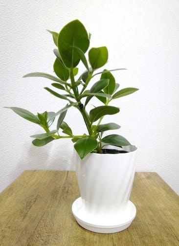 観葉植物 【40cm】 クルシア ロゼア プリンセス 5号 #24790