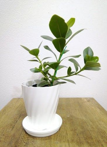 観葉植物 【40cm】 クルシア ロゼア プリンセス 5号 #24791