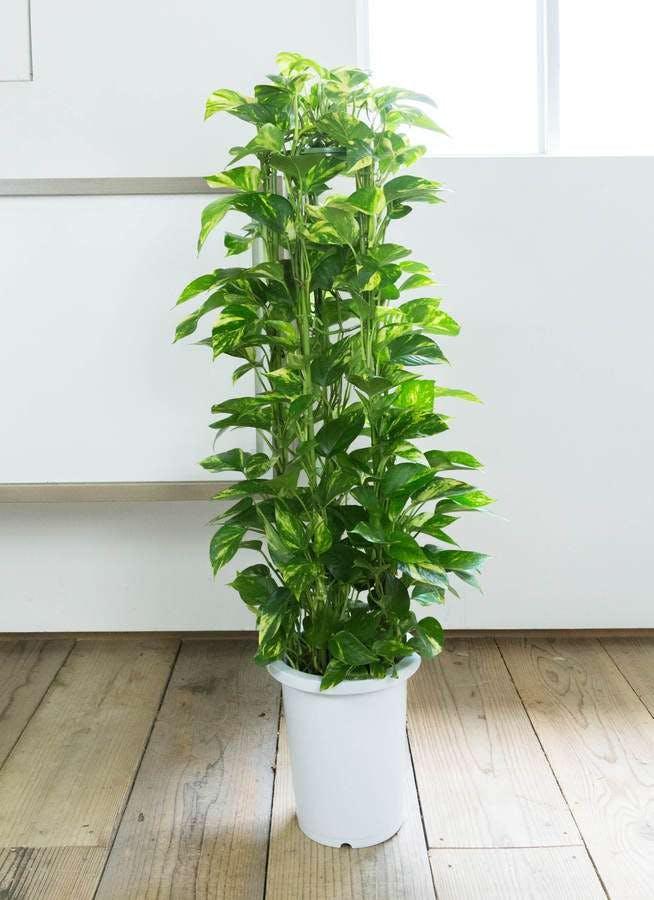 観葉植物 ポトス 8号 プラスチック鉢