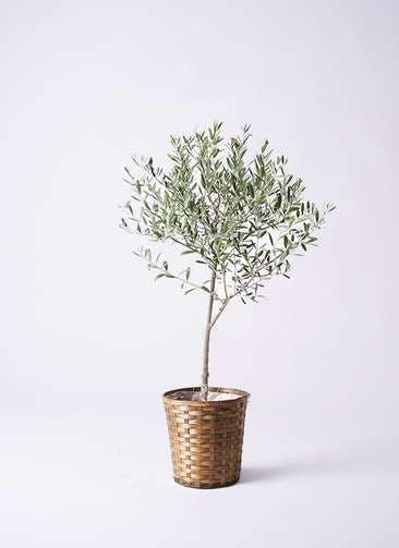 観葉植物 オリーブの木 6号 創樹 竹バスケット 付き