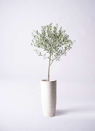 観葉植物 オリーブの木 6号 創樹 エコストーントールタイプ white 付き