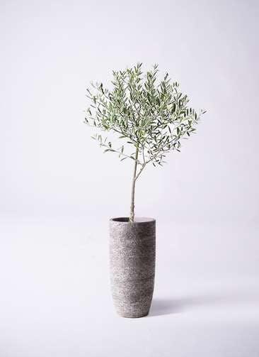 観葉植物 オリーブの木 6号 創樹 エコストーントールタイプ Gray 付き