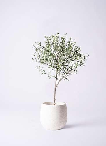 観葉植物 オリーブの木 6号 創樹 エコストーンwhite 付き