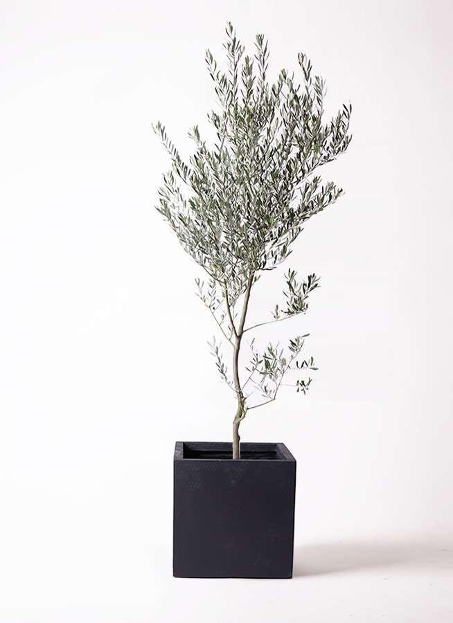 観葉植物 オリーブの木 10号 創樹 ベータ キューブプランター 黒 付き