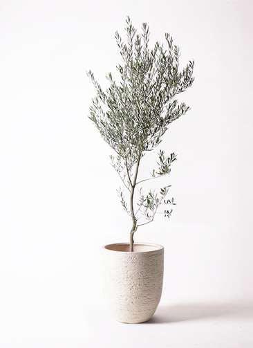 観葉植物 オリーブの木 10号 創樹 ビアスアルトエッグ 白 付き