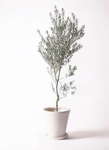 観葉植物 オリーブの木 10号 創樹 サブリナ 白 付き