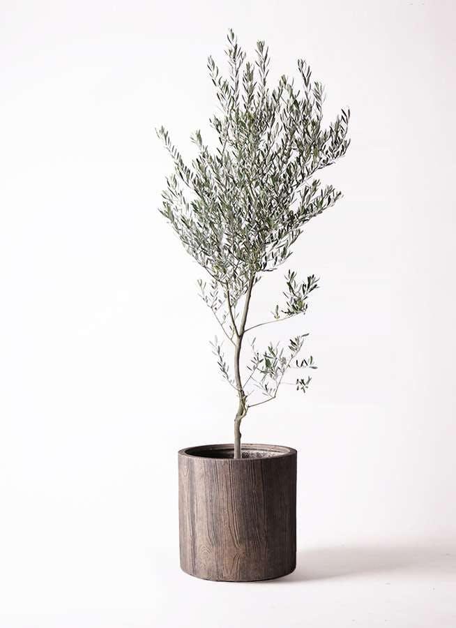 観葉植物 オリーブの木 10号 創樹 アルファシリンダープランター 付き