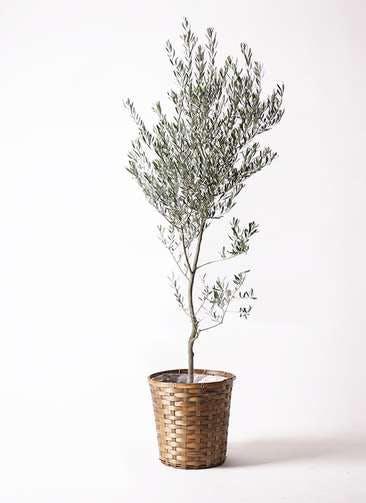 観葉植物 オリーブの木 10号 創樹 竹バスケット 付き