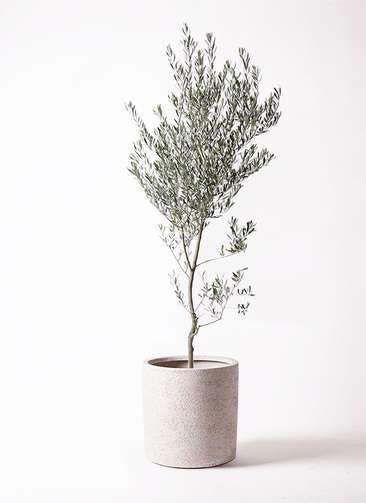 観葉植物 オリーブの木 10号 創樹 サンディ シリンダー 白 付き