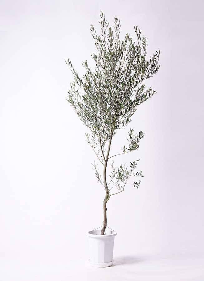 観葉植物 オリーブの木 10号 創樹 プラスチック鉢