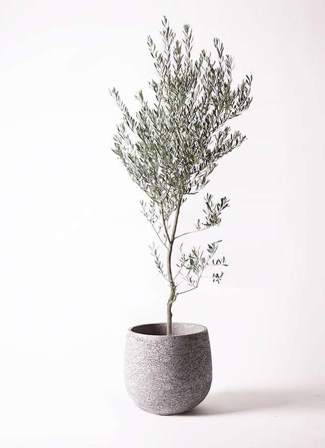 観葉植物 オリーブの木 10号 創樹 エコストーンGray 付き