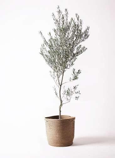 観葉植物 オリーブの木 10号 創樹 リブバスケットNatural 付き