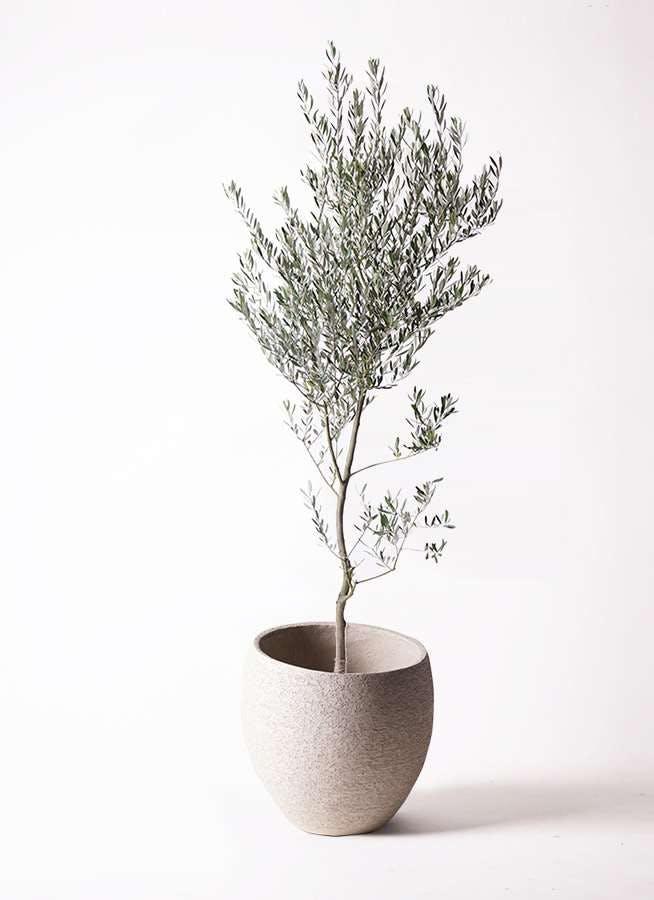 観葉植物 オリーブの木 10号 創樹 エコストーンLight Gray 付き