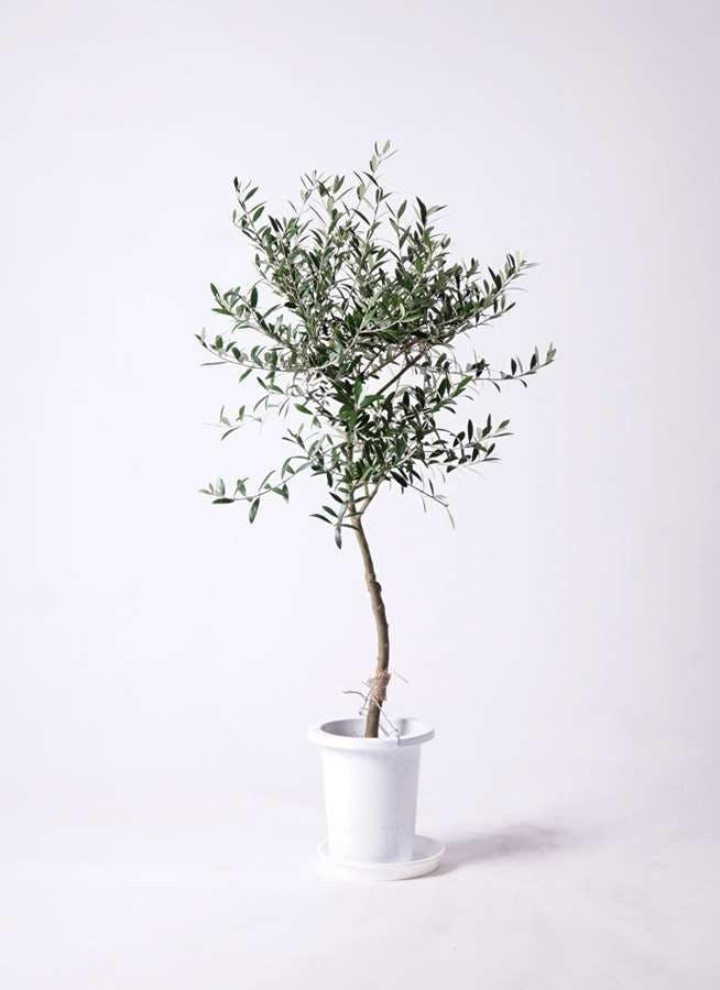 観葉植物 オリーブの木 7号 創樹 プラスチック鉢