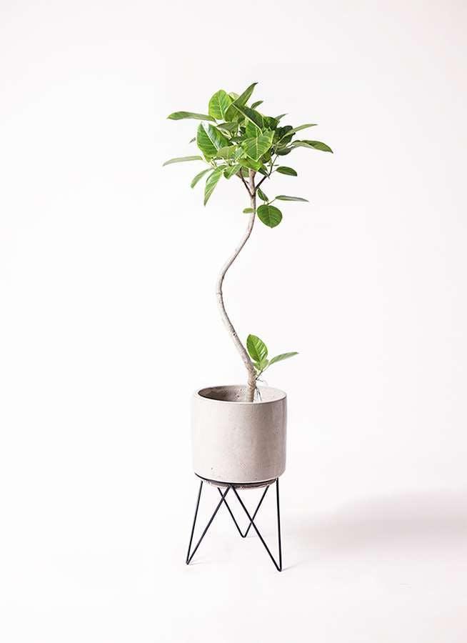 観葉植物 フィカス アルテシーマ 8号 曲り ビトロ エンデカ クリーム アイアンポットスタンド ブラック 付き